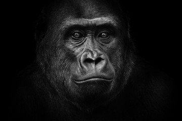 Foto op Aluminium Aap Black and white gorilla