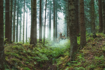 adult moose with horns on an early foggy morning in the forest Wall mural