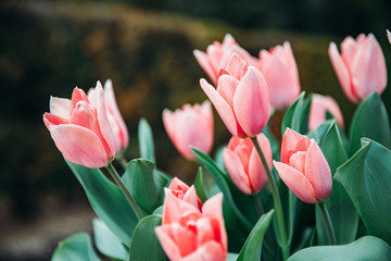 Pink tulip in flower market with sun light. Natural background