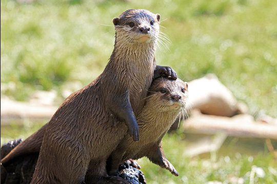 A Pair Of River Otters Showing Friendship
