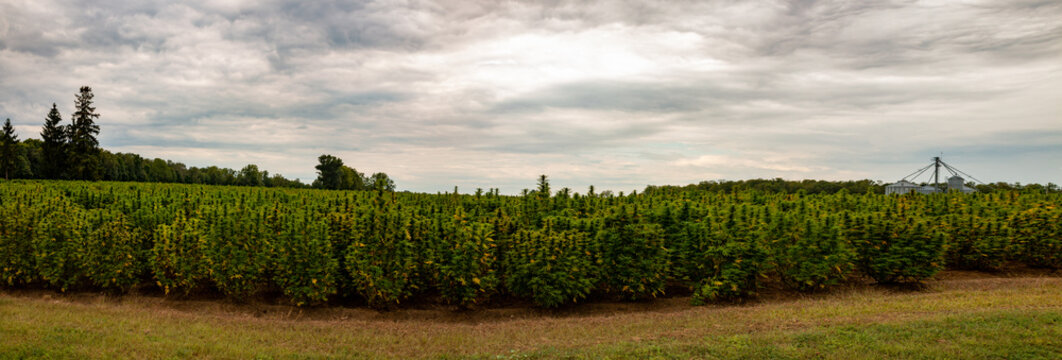 Panorama of a hemp field in Southern Ontario Canada. Marijuana recently became legal to consume recreational in Canada. This is a huge outdoor field of marijuana.