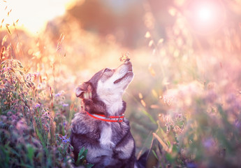 cute brown dog with butterfly Machaon on his nose sits on a clear Sunny meadow and smiles happily on a warm summer day