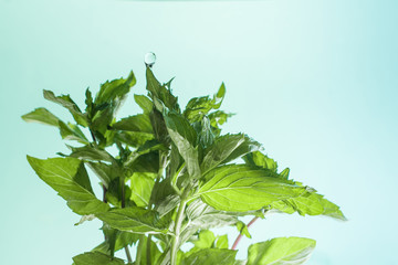 Green fresh leaves of mint with drops of water.