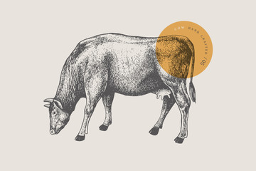Graphic hand-drawn cow on a light background. Retro engraving with farm animal for menu restaurants, for packaging in markets and shops. Vector vintage illustrations.