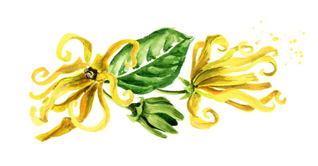 Ylang-Ylang yellow flowers Cananga odroata. Watercolor hand drawn illustration isolated on white background