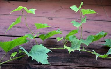 pęd winogrona na tle starej ściany