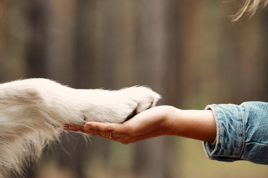 Dog is giving paw to the woman. Dog's paw in human's hand. Domestic pet