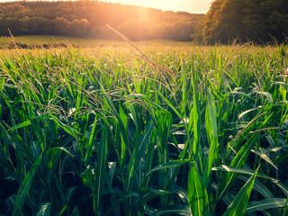 coucher de soleil à travers des feuilles d'un champ de maïs