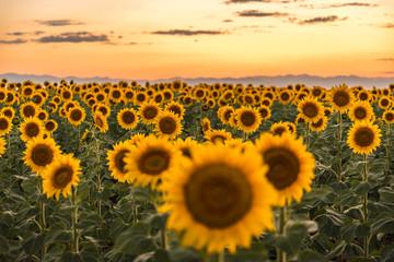 Photo sur Aluminium Tournesol Sunflower Fields at Sunset Colorado