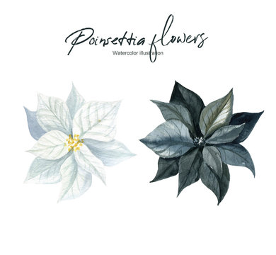 Isolated watercolor illustration with black and white poinsettia on a white background. A set of elements. Suitable for creating cards, invitations, holidays and other