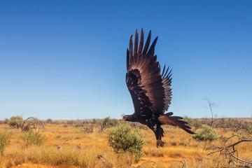 Garden Poster Eagle Wedge-tailed Eagle. Large Australian Eagle in flight