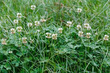 Plantas con flores de trébol blanco entre la hierba. Trifolium repens.