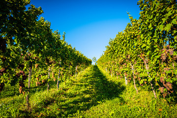 Wall Murals Vineyard Red grapes rows on vineyard over bright green background. Austria Autumn Landscape