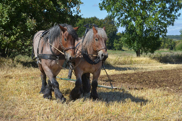 Fototapeta Feldarbeit mit Pferden