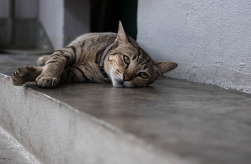 Thai breed cat sleeps as a model for tourists to take pictures and admire its cuteness.