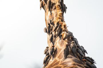 Closeup of Redbilled Oxpecker on Giraffes neck in Kruger national Park. South Africa
