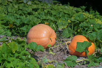 two pumpkins on the field