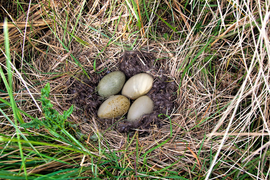 Eider duck nest lined with eider down with four eggs