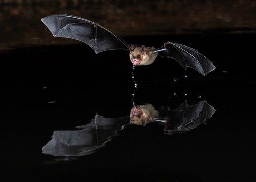 Long eared Myotis Bat at night in Southern Arizona