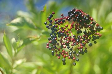 closeup of blue elderberries