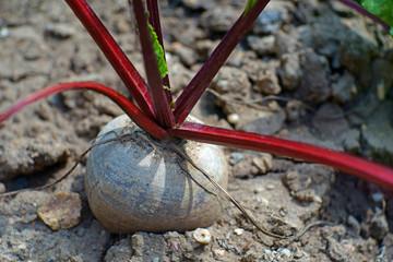 beetroot plant in garden