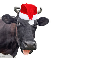 Fotobehang Koe Funny cow isolated in Christmas hat. Black cow portrait isolated on white. Farm animals.