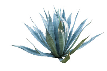 Tuinposter Cactus Agave plant isolated on white background. clipping path. Agave p