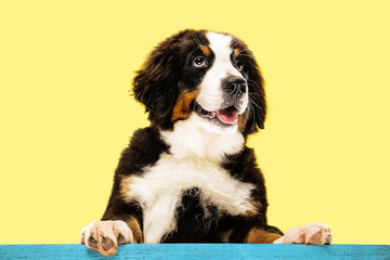 Wall Mural - Berner sennenhund puppy posing. Cute white-braun-black doggy or pet is playing on yellow background. Looks attented and playful. Studio photoshot. Concept of motion, movement, action. Negative space.