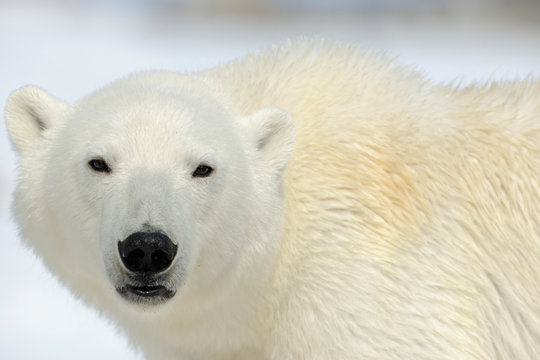 Polar bear close up portrait