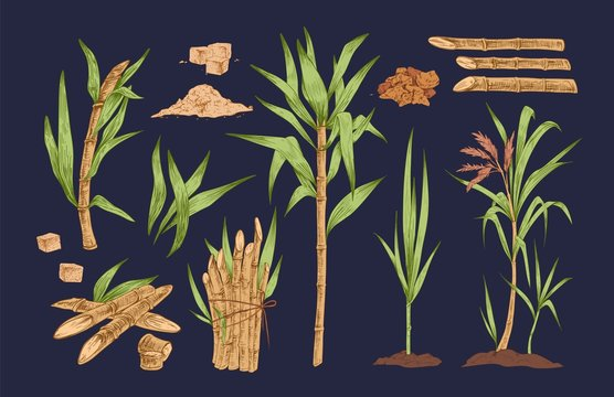 Hand drawn vector collection of sugar cane sprigs, stalks and leaves isolated illustrations. Realistic, detailed, colorful set of organic, tropical sugarcane plant. Vintage botanical drawing.