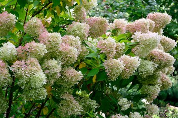 Gorgeous hydrangea bush with huge numerous inflorescences in the garden