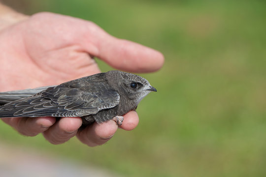 The man hand holds the swifts found in order to let go, close up. Newborn swift in human arms . Care of a small bird that fell out of the nest. Wildlife conservation