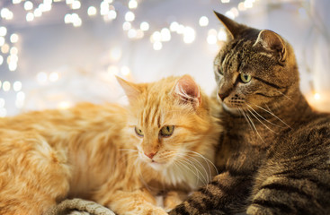 Fototapete - pets, christmas and hygge concept - two cats lying at home in winter
