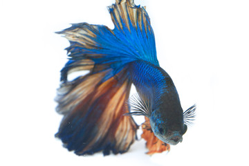 Image of a fighting fish isolated on white background. (Betta splendens)