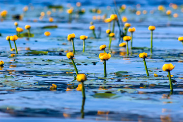 Foto op Canvas Waterlelies Summer lake with yellow water lily flowers on blue water.