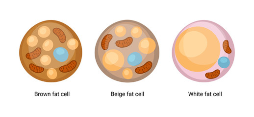 Vector set of brown, beige and white fat cells. Illustration of adipose tissue