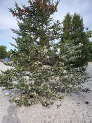 A tree is seen on the site of an explosion in Farmington, Maine