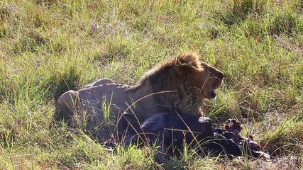 Wall Mural - Lion in the grass with their prey. Africa. Kenya. Tanzania. Maasai Mara National park . Serengeti.