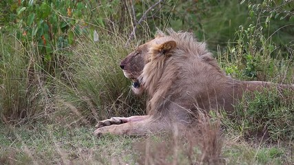 Wall Mural - Young lion lies in the grass in the savannah. Close-up. Africa. Kenya. Tanzania. Maasai Mara National park . Serengeti.