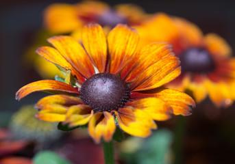 Copper Coloured Rudbeckia Flowerhead