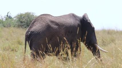 Wall Mural - Big elephant in the savanna. Africa. Kenya. Tanzania. Serengeti. Maasai Mara.
