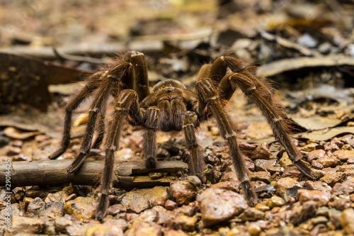 Goliath Bird Eating Spider Theraphosa Blondi Stock Photo