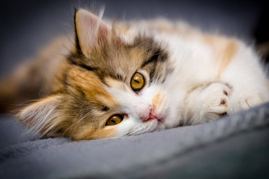 Little tricolor kitten on gray background
