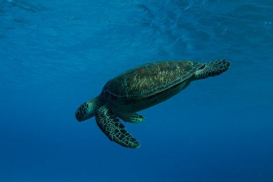 Sea turtle swimming in ocean, Lady Elliot Island, Great Barrier Reef, Queensland, Australia
