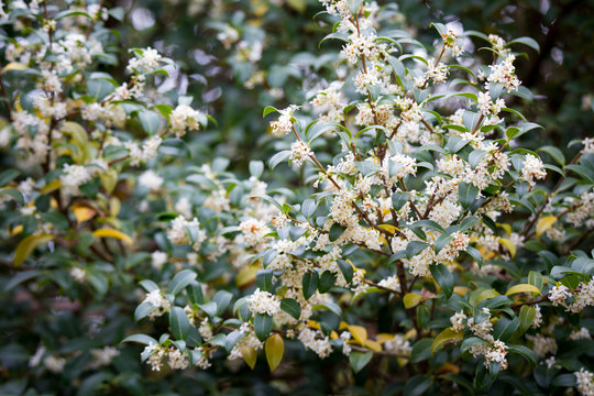 Burkwood Osmanthus in springtime, covered in white scented flowers