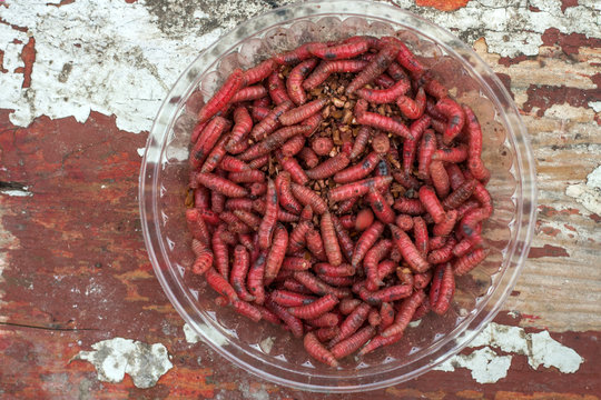A small box with red larvae of a meat fly - maggot on a light wooden background. Fishing lures