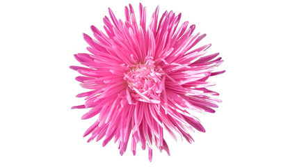 Autumn pictures. Pink aster flower isolated on white background.