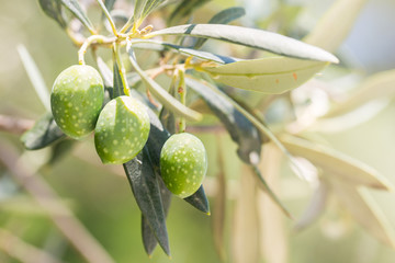 Detail of olive tree, a bunch of green olives used to produce high quality Italian oil