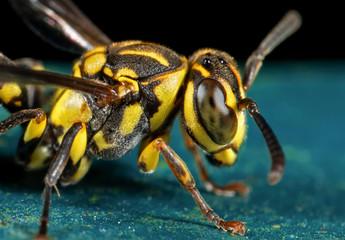 Macro Photo of Wasp on Blue Floor