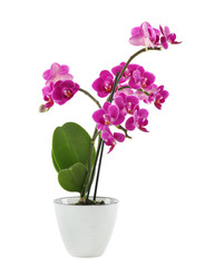 Tuinposter Orchidee Beautiful tropical orchid flower in pot on white background